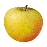 REWE Regional Apfel Holsteiner Cox