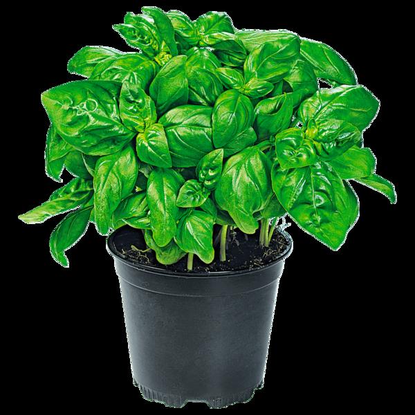 Basilikum im topf bei rewe online bestellen for Pflanzen bestellen berlin