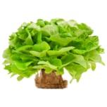 Salat mit Wurzel grün