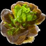 Salat mit Wurzel rot