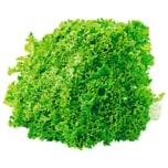 Salat Lollo Bionda von Gärtnerei Böck 1 Stück