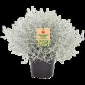 Stacheldraht- pflanze